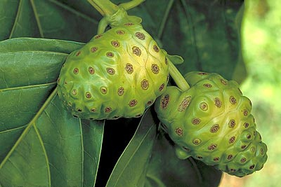 noni-fruit.jpg